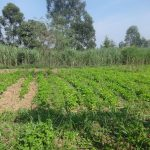 The Water Project: Mahira Community, Mukalama Spring -  Community Farm