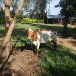 The Water Project: Mahira Community, Mukalama Spring -  Cow Grazing
