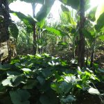 The Water Project: Mahira Community, Mukalama Spring -  Vegetable Farm