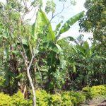 The Water Project: Lukala C Community, Livaha Spring -  Banana Plantation