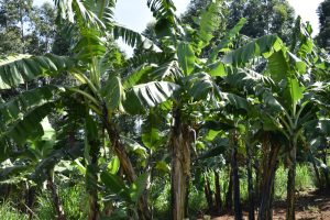The Water Project:  Banana Farming
