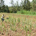 The Water Project: Shianda Township Community, Olingo Spring -  Farming Is The Main Activity