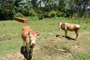 The Water Project:  Cows
