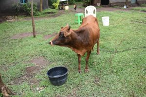 The Water Project:  A Cow At Home