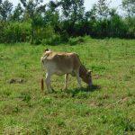 The Water Project: Musango Commnuity, Wabuti Spring -  Livestock Grazing