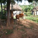 The Water Project: Machemo Community, Boaz Mukulo Spring -  A Cow Grazing Outside A Homestead