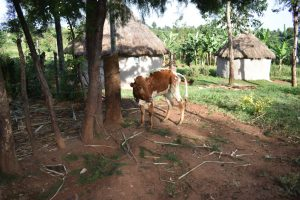 The Water Project:  A Cow Grazing Outside A Homestead