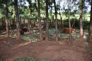 The Water Project:  Cows In Their Pen