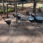 The Water Project: Machemo Community, Boaz Mukulo Spring -  Poultry Keeping