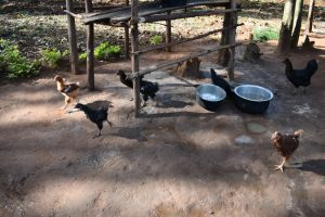 The Water Project:  Poultry Keeping