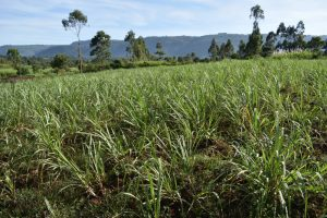 The Water Project:  Sugarcane Farming
