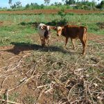 The Water Project: Indulusia Community, Osanya Spring -  Cows Grazing