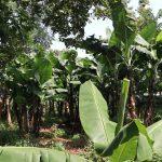 The Water Project: Makhwabuyu Community, Sayia Spring -  Banana Platation