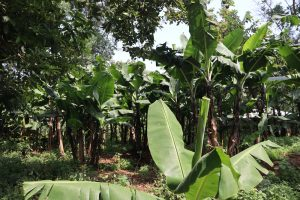 The Water Project:  Banana Platation