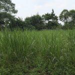 The Water Project: Makhwabuyu Community, Sayia Spring -  Sugacane Plantation