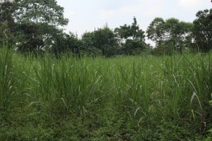 The Water Project:  Sugacane Plantation