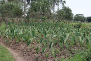The Water Project:  Yam Farming