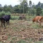 The Water Project: Mukhuyu Community, Gideon Kakai Chelagat Spring -  Animals Feeding