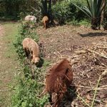 The Water Project: Mukhuyu Community, Gideon Kakai Chelagat Spring -  Sheep Grazing