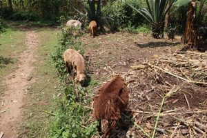 The Water Project:  Sheep Grazing