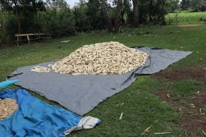 The Water Project:  Sundrying Maize