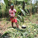 The Water Project: Mukhuyu Community, Gideon Kakai Chelagat Spring -  Harvesting Maize