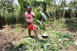 The Water Project:  Harvesting Maize