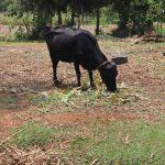 The Water Project: Mukhonje B Community, Peter Yakhama Spring -  A Cow Grazing