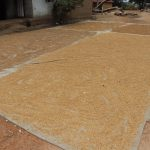 The Water Project: Lokomasama, Matong Village -  Rice Seed Set Up Under Sun Light To Dry