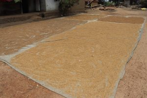 The Water Project:  Rice Seed Set Up Under Sun Light To Dry