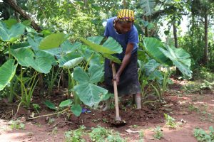The Water Project:  In Her Small Farm Working On Yams
