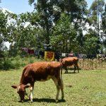The Water Project: Shianda Commnity, Mukeya Spring -  Animals Grazing