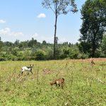 The Water Project: Shianda Commnity, Mukeya Spring -  Animals Grazing In Open Fields