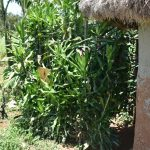 The Water Project: Shianda Commnity, Mukeya Spring -  Bathing Shelter Made From A Bush
