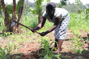The Water Project:  Weeding Her Maize Farm