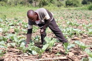 The Water Project:  Picking Kale From His Farm
