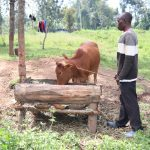 The Water Project: Ematetie Community, Chibusia Spring -  Watching Over His Cow As It Eats