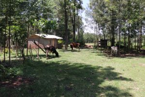 The Water Project:  Cows Grazing At Doras House