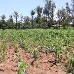 The Water Project: Elwichi Community, Mulunda Spring -  Maize Plantation