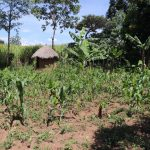 The Water Project: Kalenda A Community, Moro Spring -  Maize Farm And Latrine In The Distance