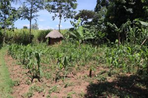 The Water Project:  Maize Farm And Latrine In The Distance