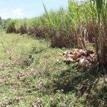 The Water Project: Kalenda A Community, Moro Spring -  Sugarcane Plantations
