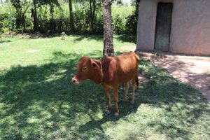 The Water Project:  A Cow Grazing At Home