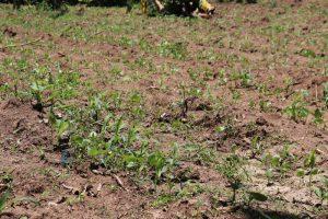 The Water Project:  Young Maize Stalks In The Farm