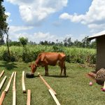 The Water Project: Shihome Community, Oloo Njinuli Spring -  A Cow Drinking Water