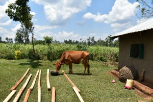 The Water Project:  A Cow Drinking Water
