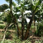 The Water Project: Shihome Community, Oloo Njinuli Spring -  Banana Stalk With Fruit Almost Ready