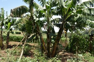 The Water Project:  Banana Stalk With Fruit Almost Ready