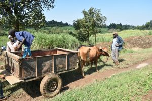 The Water Project:  Offloading Bricks In An Ox Cart