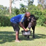 The Water Project: Rosterman Community, Kidiga Spring -  Giving His Cow A Drink From The Spring